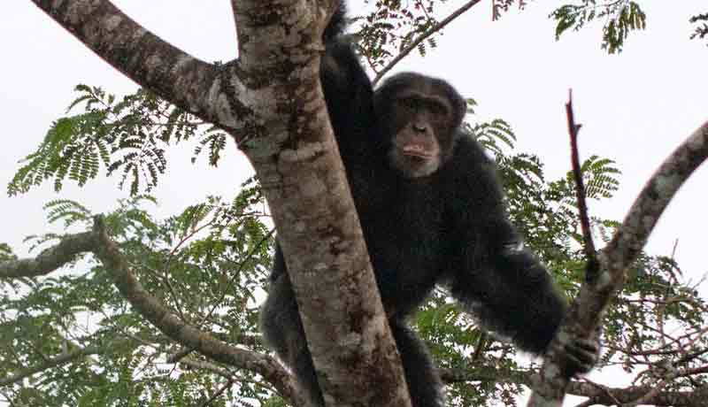 chimpanze afrique kere grands singes en milieu naturel
