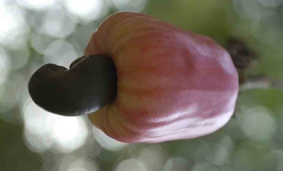 Cashew apple and cashew nuts.