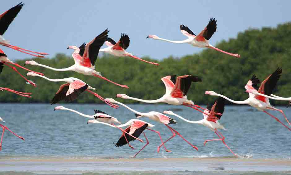 vol de flamants rose