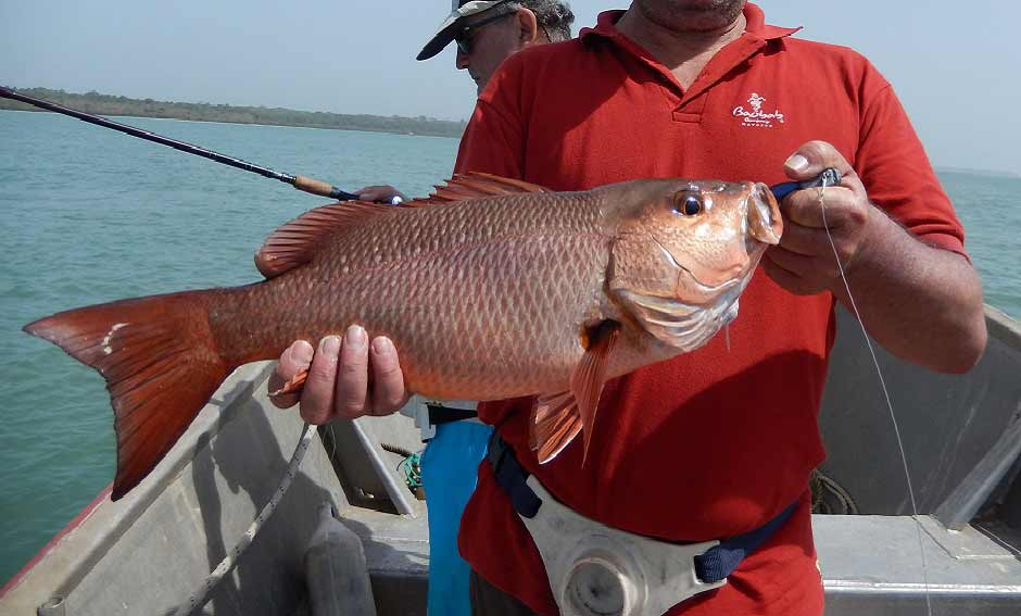Beautiful typical red snapper of the bijagos