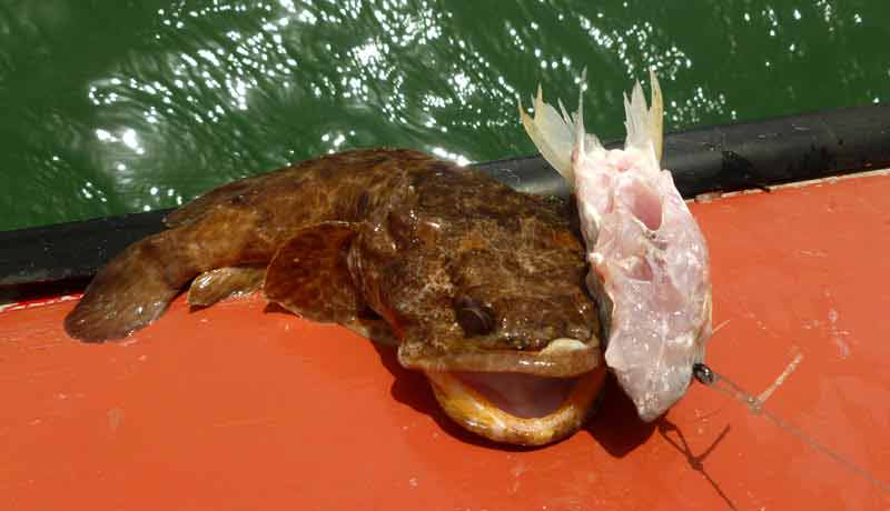 rascasse or scorpion fish catched by stalled fishing kere